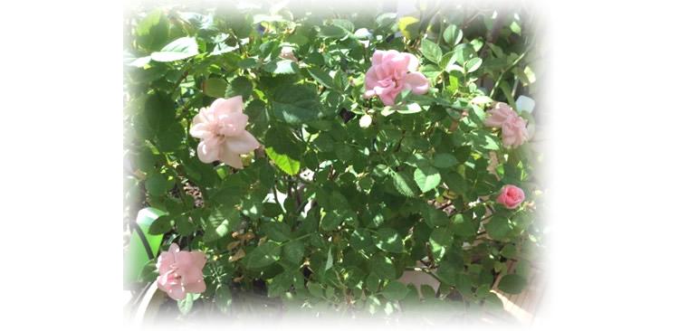 自由が丘のヴェルサイユ宮殿 薔薇