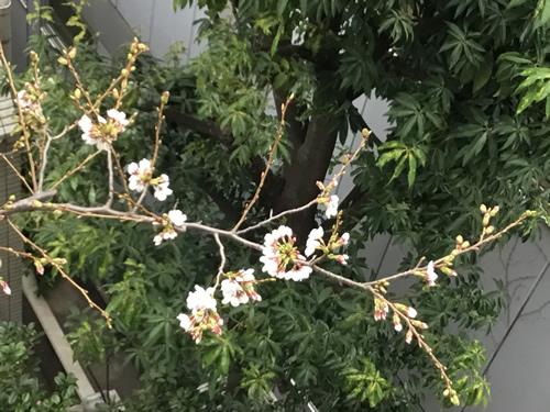 自由が丘のヴェルサイユ宮殿の桜