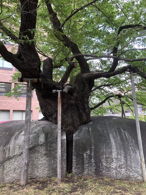 盛岡・石割桜-1|田園調布 天使バレエスクール