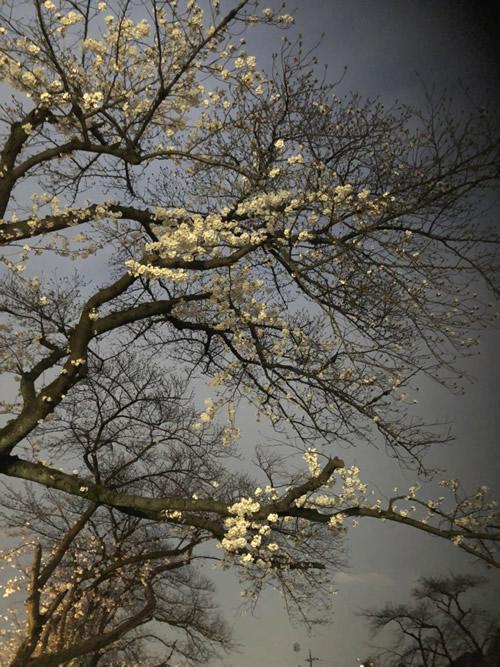 野川の夜桜-1|世田谷・自由が丘 天使バレエスクール