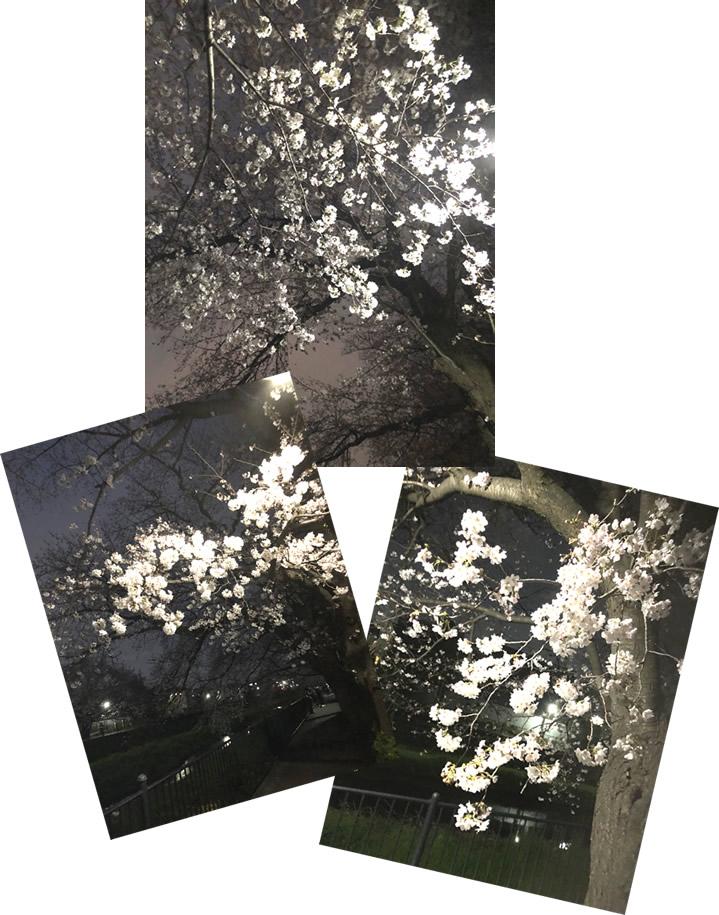 野川の夜桜-3|世田谷・自由が丘 天使バレエスクール